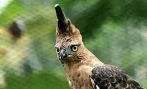 Ciri, Habitat, Taksonomi Dan Jenis Burung Elang Jawa