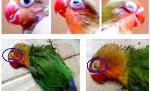 Gejala, Penyebab dan Cara Mengobati Penyakit Snot Pada Lovebird