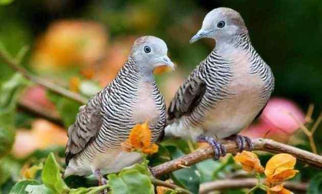 Mitos, Jenis dan Harga Burung Perkutut Update 2021