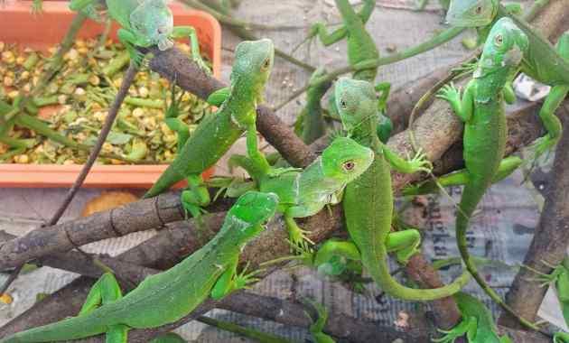 Penyebab dan Cara Mengatasi Reptil Susah Makan
