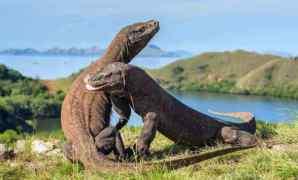 Sejarah, Ciri, Habitat dan Fakta Unik Hewan Komodo
