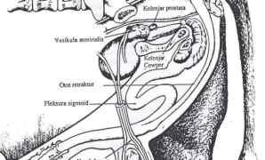Pengertian Organ Reproduksi Ternak Jantan