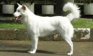 Ciri, Makanan, Habitat dan Fakta Anjing Kintamani
