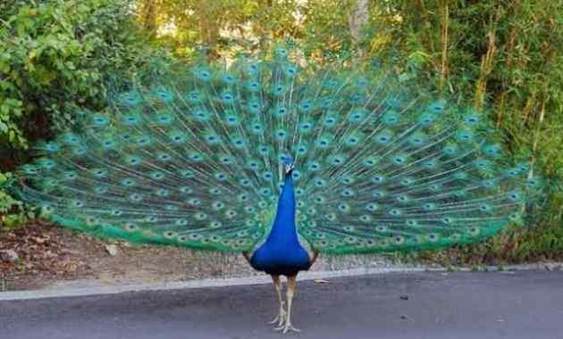 Habitat, Jenis, dan Ciri Burung Merak