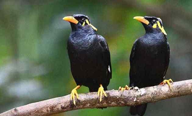Jenis, Ciri, Habitat, dan Harga Burung Jalak