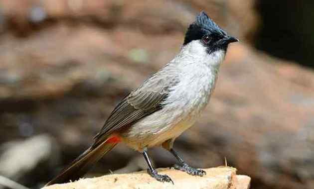 Jenis, Makanan, dan Habitat Burung Kutilang