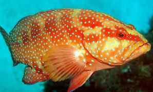 Jenis Penyakit Ikan Kerapu dan cara Mengatasinya