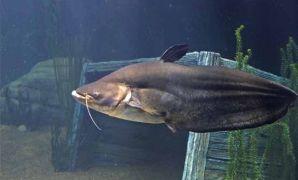 Ciri, Habitat, Makanan dan Fakta Ikan Tapah