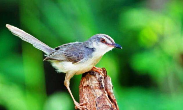 Ciri, Penyebab, dan Cara Mengatasi Burung Ciblek Sakit