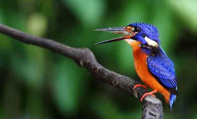 6+ Cara Membedakan Burung Tengkek Udang Jantan dan Betina