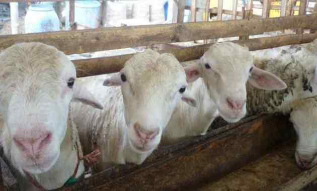 9 Cara Memilih Bibit Domba Yang Unggul Dan Berkualitas