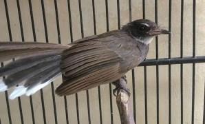 Cara Membuat Burung Sikatan Kipas (Kapas) Gacor