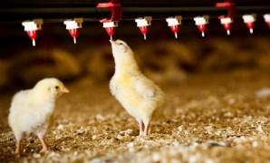 Jenis dan Jadwal Vaksinasi Ayam Broiler