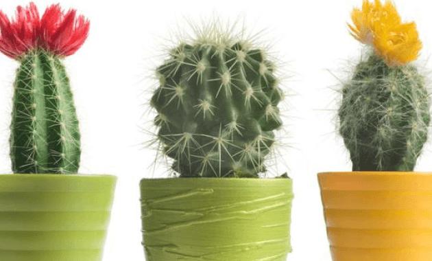 Morfologi dan Klasifikasi Tanaman Hias Kaktus