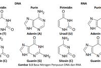 Pengertian Adenin dan Guanin Perbedaan Basa Adenin dengan Guanin