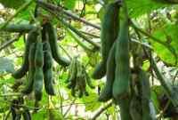 7 Cara Penanganan Pasca Panen Tanaman Kacang Koro