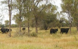 Vacas-BosquesManejoSelectivo w