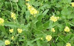 ALERTA-amarillo-nabo-a-glifosato-2 w