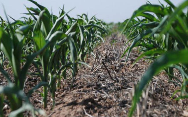 maiz deficit hidricoOK