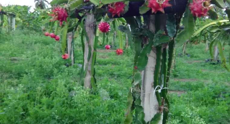 Vendo Pitahayas