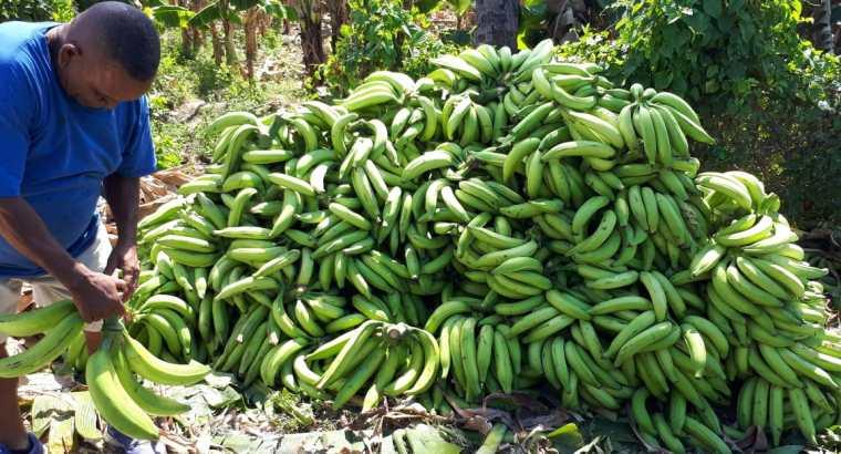 Plátanos Gigantes