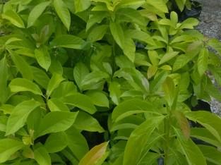 Plantas de aguacates Benecke