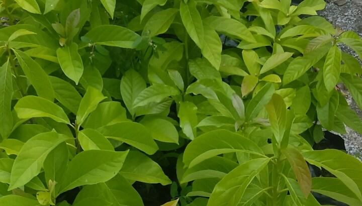 Plantas de aguacates berni