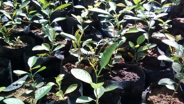 plantas de limón criollo