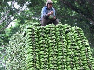 Plátanos al por mayor