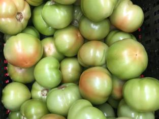 70 mil libras de tomates