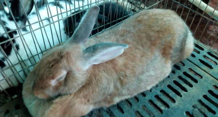 Vendemos conejos de raza