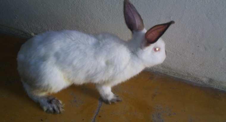 Se vende conejos