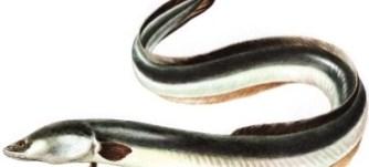 Venta de anguila