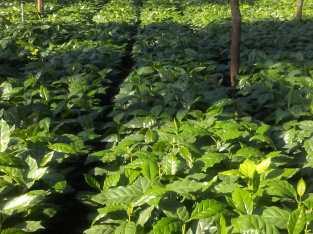 Tenemos plantas de café