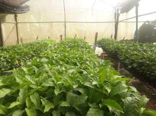 Vendemos plantas chinola