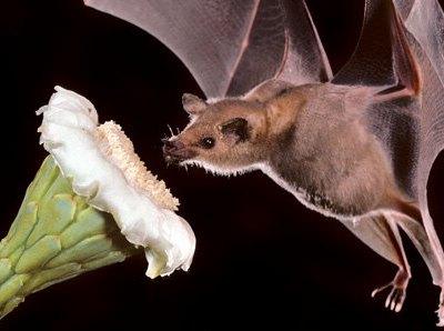 Los murciélagos ayudan a la polinización
