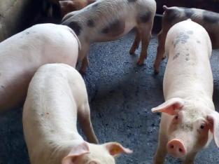 Venta de cerdos al destete