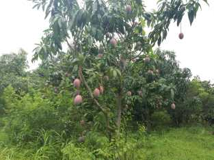 Vendo mangos exportables