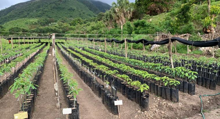 Plantas aguacates Carla