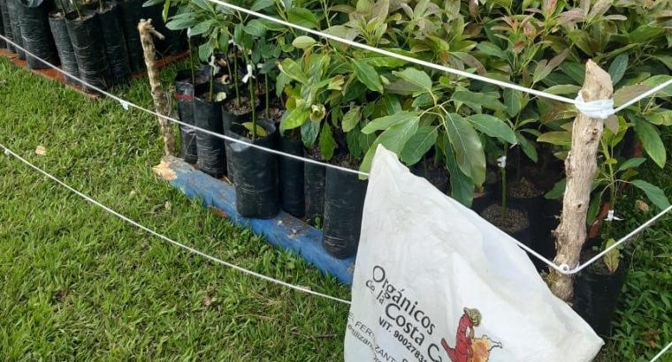 Plantas de aguacates Semil