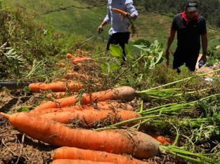 Tenemos zanahorias