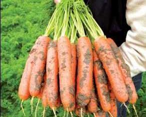 Vendo zanahorias selectas
