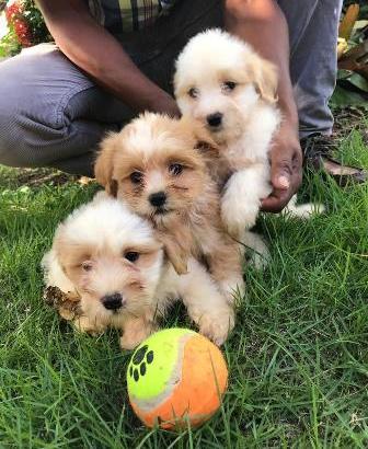 Se vende cachorros