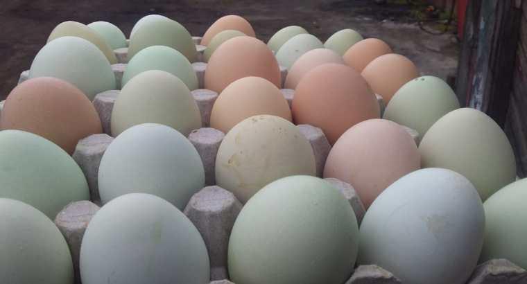 Vendo huevos criollos