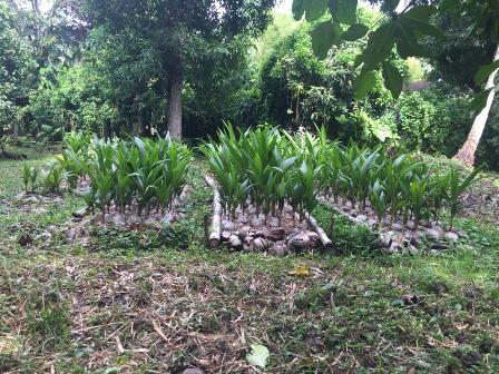 Se vende matas de coco