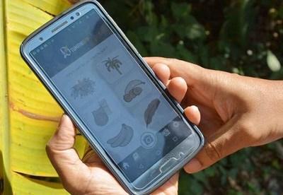 App basada en inteligencia artificial ayuda a proteger los cultivos de banana