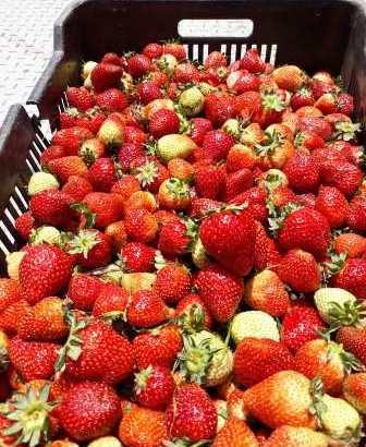 Vendemos Fresas congeladas