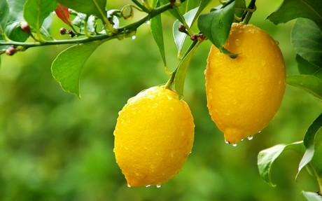 Se investiga una nueva variedad de limón Verna que permita producir todo el año en Murcia