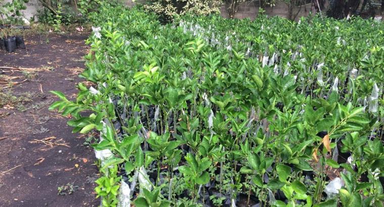 Plantas de limón persa