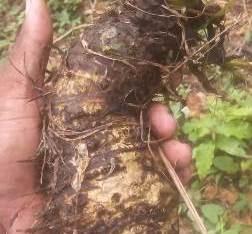 Vendo plantas de yautia